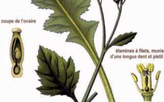 Катран аккорд выращивание. Как посадить и вырастить катран в открытом грунте