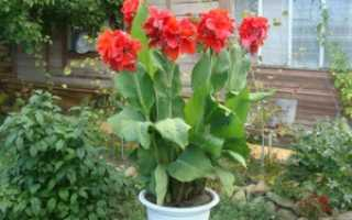 Канны растение фото. Цветы канны: особенности выращивания в саду и домашних условиях