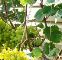 Виноград алеша описание сорта фото. Неприхотливый и очень сладкий — виноград «Алешенькин дар»