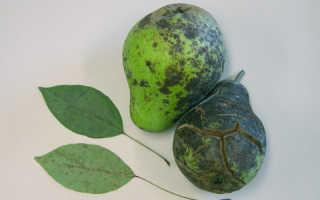 Болезни груши в картинках. Болезни листьев груши и их лечение с фото