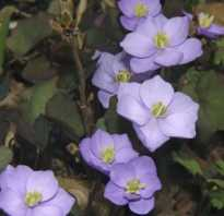 Джефферсония сомнительная посадка и уход. Джефферсония сомнительная: посадка, уход и лечебные свойства растения