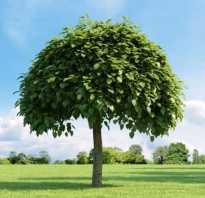 Катальпа из семян. Великолепная катальпа: учимся выращивать южную красавицу