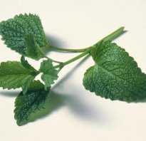 Как сажать мелиссу. Мелисса лекарственная лимонная Выращивание из семян когда сажать Посадка и уход в открытом грунте