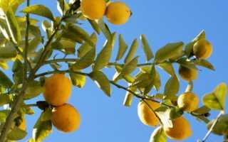 Как опылять комнатный лимон. Как самостоятельно опылить лимон?