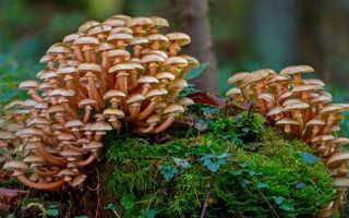 Картинки опята грибы съедобные. Опята: как найти, основные виды, полезные свойства + 70 фото