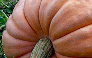 Выращивание тыквы в открытом грунте в подмосковье. Выращивание тыквы в открытом грунте: как правильно вырастить разные виды.