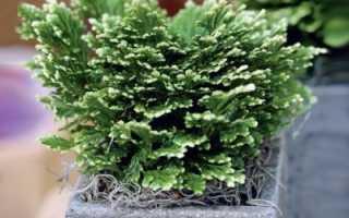 Selaginella martensii. Уход в домашних условиях за кустарником «Селагинелла Мартенсии Джори»
