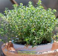 Выращивание тимьяна из семян в домашних условиях. Как вырастить идеальный тимьян на подоконнике – все нюансы выращивания из семян и веточек