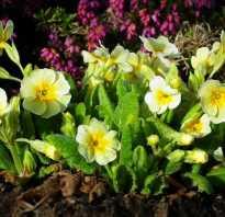 Виды примул. Примула многолетняя, посадка и уход (60 фото): как вырастить цветы небесной красоты