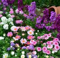 Бордюрные кустарники многолетники. Бордюрные многолетники, цветущие все лето