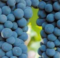 Виноград амурский прорыв описание сорта фото отзывы. Виноград Амурский прорыв: краткое описание сорта, особенности выращивания и отзывы
