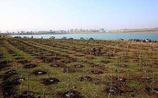 Как вырастить оливковое дерево из веточки. Оливковое дерево: выращивание в домашних условиях, уход, виды, история культуры.
