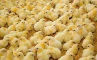 Как ухаживать за цыплятами в домашних условиях. Особенности ухода за цыплятами в первые дни жизни