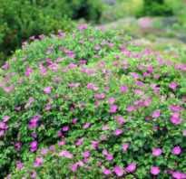 Герань уличная многолетняя. Скромная и выносливая садовая герань: виды, выращивание и уход, размножение
