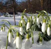 В какое время года растут подснежники. Когда появляются подснежники, где растут первые весенние цветы, фото