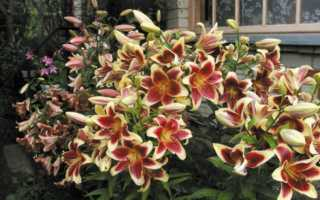 Гигантские лилии фото. Кардиокринум: выращивание и особенности размножения впечатляющей лилии