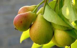 Как сажать грушу весной пошаговая. Посадка груши весной — когда и как сажать