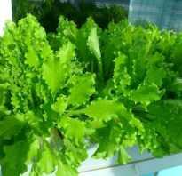 Как вырастить руколу дома. Как вырастить дома рукколу, базилик и шпинат?