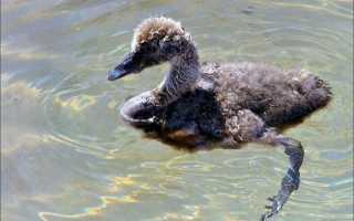 Детеныши лебедя как называется. Детёныши животных