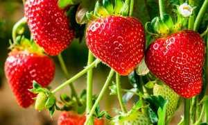 Как хранить ампельную клубнику зимой. Ампельная клубника – секреты успешного выращивания