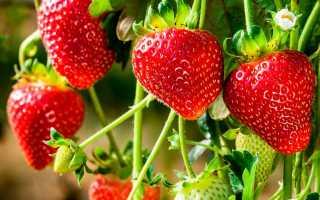 Ампельная земляника в горшках уход и выращивание. Как вырастить ампельную клубнику и ухаживать за ней?