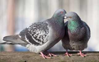 Где живут голуби в городе. Сизый голубь
