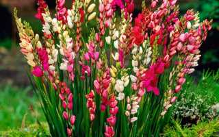 Иксия хогард. Иксия в саду: выращивание и размножение экзотического растения