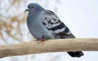 Голуби зимой. Содержание голубей зимой: уход и кормление