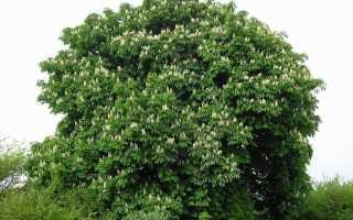 Каштан съедобный фото дерева и листьев. Дерево каштан конский