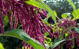 Амарант в ландшафтном дизайне. Амарант или щирица: популярные виды с фото, выращивание из семян древнейшего растения