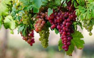 Виноград это что фрукт или ягода. Виноград — это фрукт или ягода