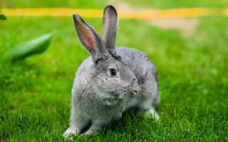 Гигантская шиншилла кролик. Кролики породы шиншилла: преимущества и недостатки разведения