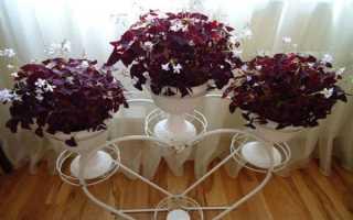 Кисличка фото растения. Кислица в домашних условиях
