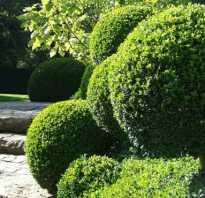 Запах самшита. Выращивание и размножение самшита в доме и в открытом грунте