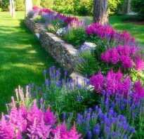 Астильба superba. Растения для сада и ландшафтного дизайна
