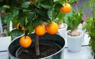Апельсиновое дерево в домашних условиях уход. Выращивание Апельсинового дерева