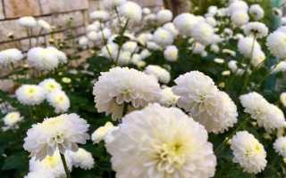 Белые бархатцы фото. Бархатцы белые на нашем огороде