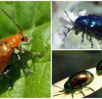 Жук листоед как бороться. Как бороться с жуками листоедами