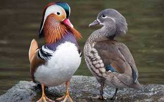 Как называют утку мужского пола. Как называется утка мужского пола?