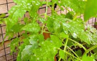 Болезни рассады томатов фото и их лечение. Рассада томатов. Болезни, вредители и прочие проблемы при выращивании