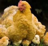 Как вырастить курицу. Как выращивать домашних куриц?