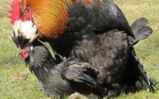 В каком возрасте петух может оплодотворять яйца. Как петух топчет (оплодотворяет) курицу