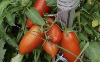 Дамский угодник томаты отзывы. Сорт томата Дамский угодник