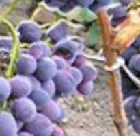 Виноград атаман описание сорта. Виноград Атаман