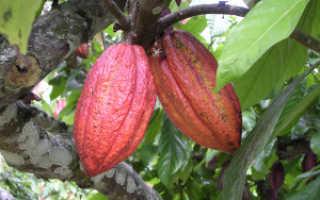 Где в россии выращивают какао бобы. Как выращивать какао бобы в домашних условиях?