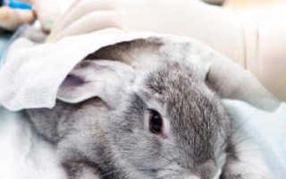 В каком возрасте кастрируют кроликов декоративных. Кастрация кроликов своими руками