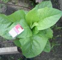 Выращивание табака в средней полосе россии. Как вырастить табак на даче