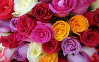 Белые розы с красной каймой.