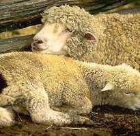 Доят ли овец. Почему коров и коз доят, а овец — нет?
