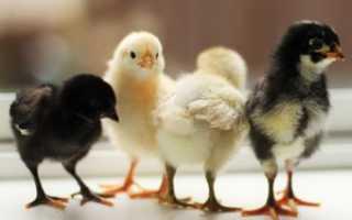 Какая температура для месячных цыплят. Температура для цыплят в первые дни жизни